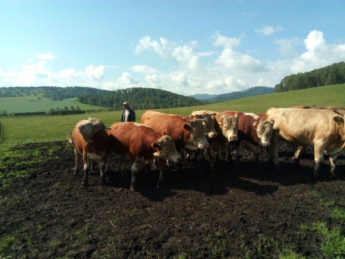 давайте выкладывать купить корову на откорм в лен обл всей России Владимирская